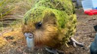 perroquet de race kakapo