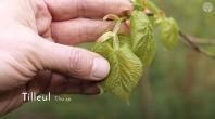 Quelles feuilles d'arbres pouvons-nous manger au printemps ?