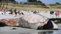 Une baleine de 13 mètres retrouvée sur une plage