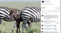 Insolite : naissance d'un petit zèbre noir à pois blancs au Kenya