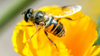 Abeilles : deux pesticides désormais interdits à la vente en France