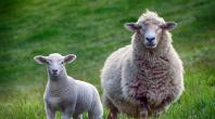 agneaux Roquefort