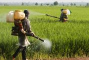 Séance d'épandage de pesticide dans un champ de blé