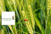 Coccinelle sur épi de blé