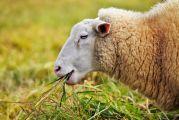 Mouton mangeant de l'herbe