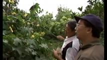 Paysans chinois en train de polliniser les fleurs manuellement