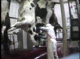 Abattoir avec vaches suspendues par les pattes arrières