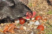 Poule se nourrissant de restes alimentaires