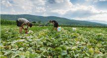 Récolte dans un champ de concombre