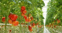 plans de tomates cultivées hors sol
