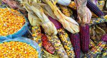 Variétés de maïs