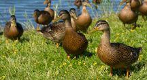 Groupe de canards en pleine nature