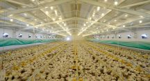 élevage industriel de poulets en hangar