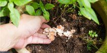 Des coquilles d'oeuf concassées pour nourrir les plantes