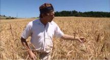 Jean François Berthelot, ,paysan boulanger dans son champ de blé d'or.