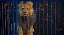 Lion dans sa cage au cours d'une représentation de cirque
