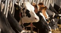 Un élevage de vaches dans un ferme industrielle