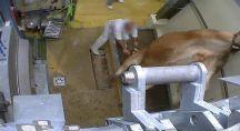 Une vache vivante est en train de se faire poignarder dans l'abattoir de Vigan