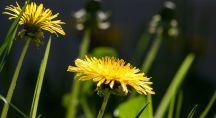 une fleur de pissenlit dans un pré
