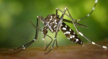 un moustique tigre qui transmet le virus Zika