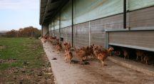 Poulets bio dans une exploitation en auvergne