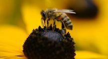 une abeille en train de butiner une fleur