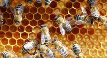 Abeilles en gros plan dans leur ruche