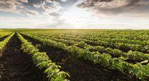 un champs de soja