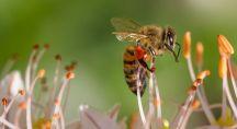 une abeille qui butine une fleur