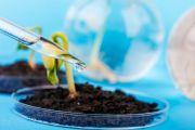 des pousses de plantes génétiquement modifiées