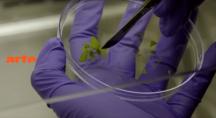 de la manipulation génétique sur des plantes OGM en laboratoire