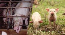 des cochons élevés en industrie et des cochons élevés en plein air