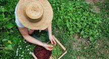 un fermier bio ramasse des haricots