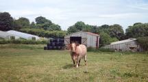 Vache au milieu d'un champ dans une petite ferme en Angleterre