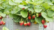 Pesticides : un producteur de fraises bio picard part en guerre contre l'Espagne