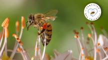 Bee Friendly, le label pour les produits respectueux des abeilles