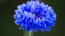 L'eau florale de bleuet, une alliée des peaux fatiguées
