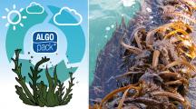 Algopack : Il découvre une algue pour remplacer le plastique