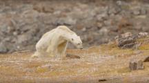 Les images tragiques d'un ours polaire, symbole du réchauffement climatique