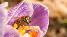 abeille bitune fleur