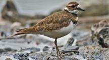 Canada : un nid d'oiseau protégé perturbe les préparatifs d'un festival