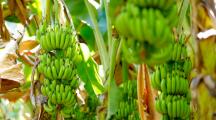 bananier bananes vertes