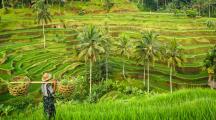 rizières de Bali
