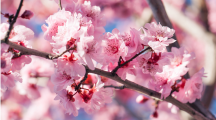 Japon : des cerisiers fleurissent, pourtant ce n'est pas le printemps