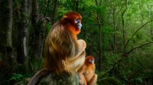 Deux singes dorés dans leur habitat naturel
