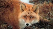 Un renard roux dans la nature