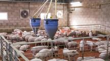 ferme industrielle cochons