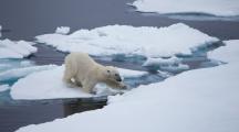Canada : l'ours polaire et le saumon du Pacifique risquent de disparaître selon les experts