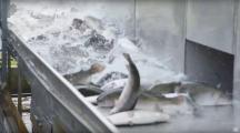 Dans une vidéo choc, L214 dénonce les conditions d'élevage des truites
