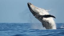 Le Japon et la pêche à la baleine, une longue histoire